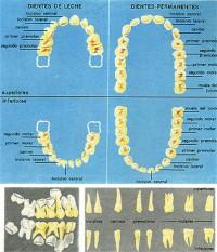 Cronología de la erupción de dientes temporarios